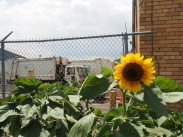 sunflowers next to the garbage trucks: NYC in a nutshell