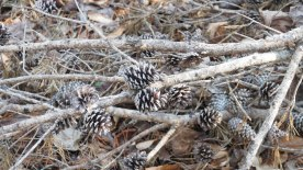 the teensiest, tiniest pine cones I've ever seen!